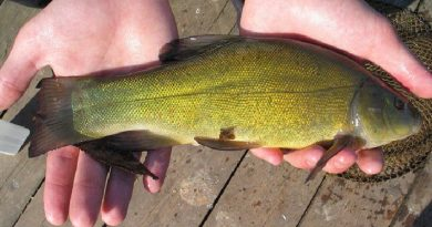 Tench. Fishing on tench
