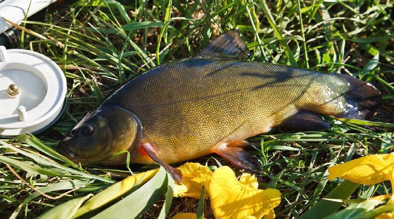 Seasonal bait for tench