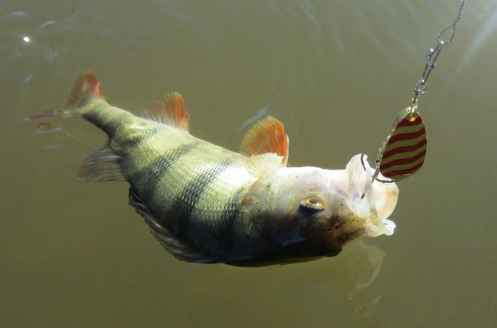 tips-for-catching-big-perch-1