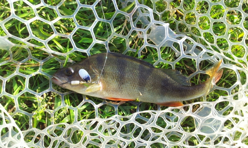 tips-for-catching-big-perch-2