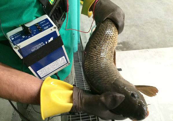Electrical sensitivity of fish