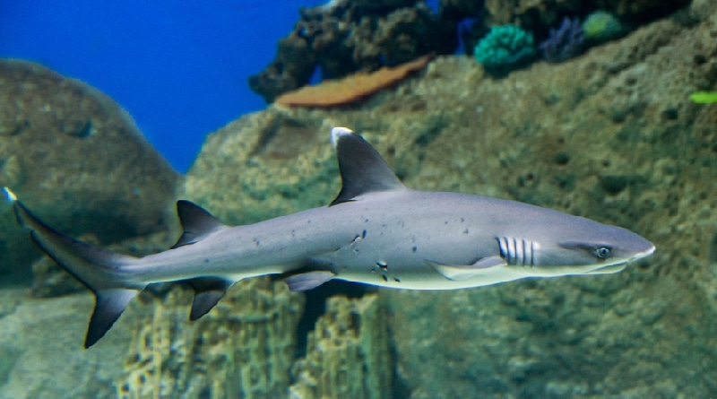 white reef shark