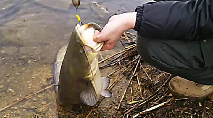 catfish in the spring