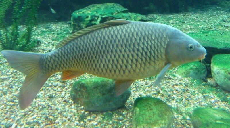 The anatomy and habits of carp