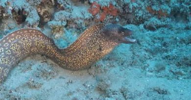 Murena Helena - Catching moray eels