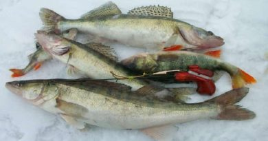 Winter bait on pike perch