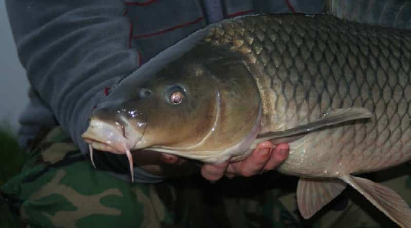 Fishing for wild carp